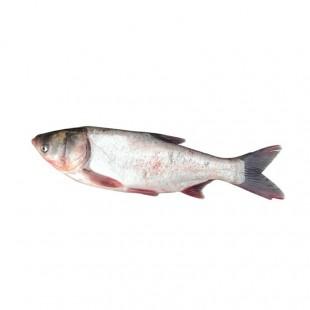 大连新鲜海鲜活鱼 鲜活牙片鱼