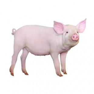养殖基地优质小猪活猪新鲜